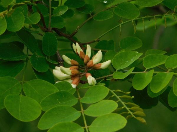 Kwitnąca Robinia akacjowa - jeden z najbardziej charakterystycznych gatunków spotykanych w zadrzewieniach Chłapowskiego, fot. Emilian Prałat