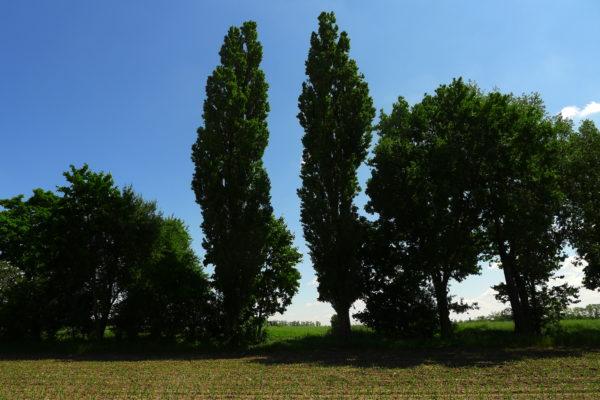 Wrota  z topoli włoskiej między polami, fot. Emilian Prałat, 2020