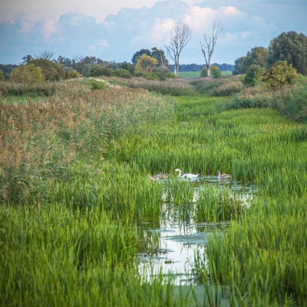 Łabędzie na jednym z kanałów Obry w okolicach Bonikowa, fot. Piotr Nędzewicz