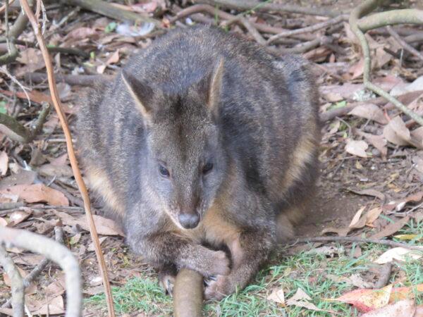 """Pademelon rudobrzuchy, fot. z książki pt. """"Australia, no worries"""""""