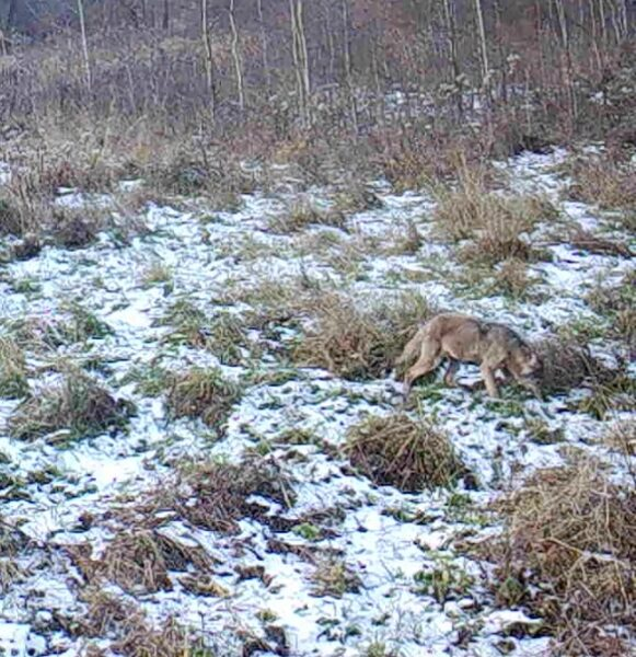 """Wilk zarejestrowany przez fotopułapkę. Zdjęcie dzięki uprzejmości Stowarzyszenia dla Natury """"Wilk"""""""