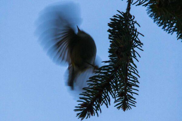 Mysikróliki machają skrzydłami tak prędko, że dostrzegamy tylko mgiełkę, fot. Dawid Tatarkiewicz