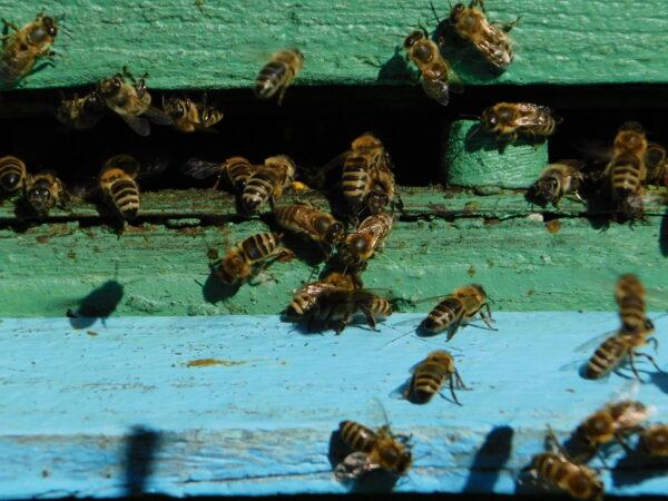 Robotnice wracające do ula. W centrum widoczna jest pszczoła z kulką pyłku przytwierdzoną do odnóża, fot. Emilian Prałat