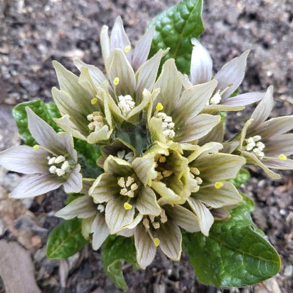 Kwiat mandragory, fot. Izabella Kirpluk, Ogród Botaniczny Uniwersytetu Warszawskiego