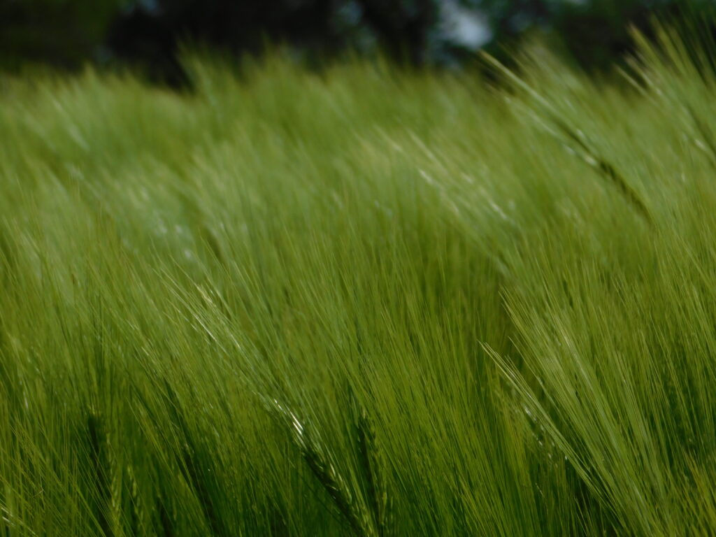 DANKO – Hodowla Roślin